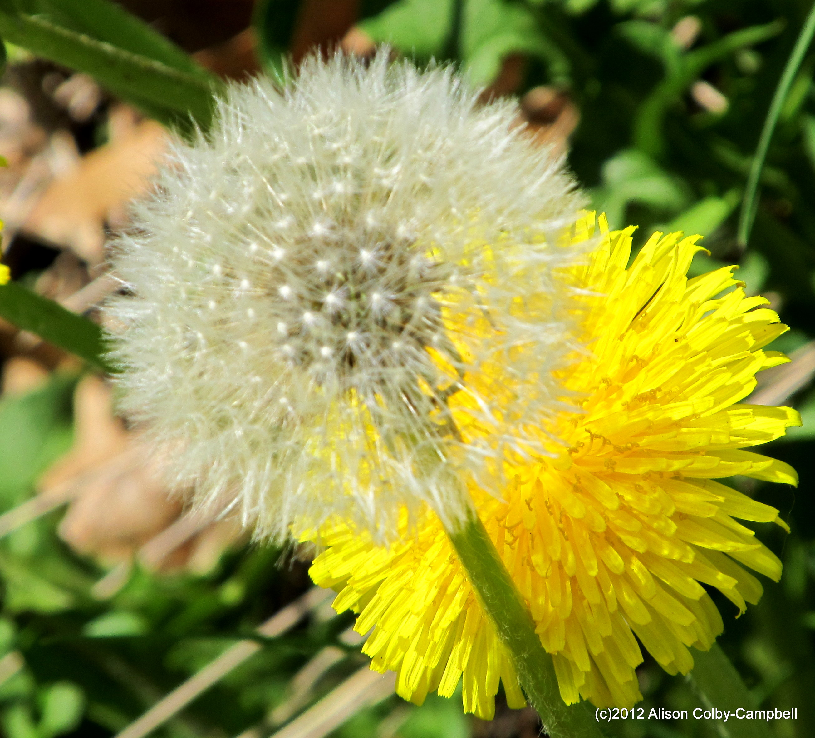 Cant See The Flower For The Weeds A Dandelions Contribution To