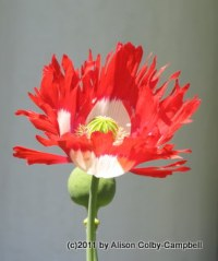 Poppies offer consolation