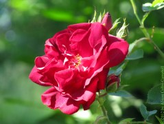 A red rose conveys passionate love