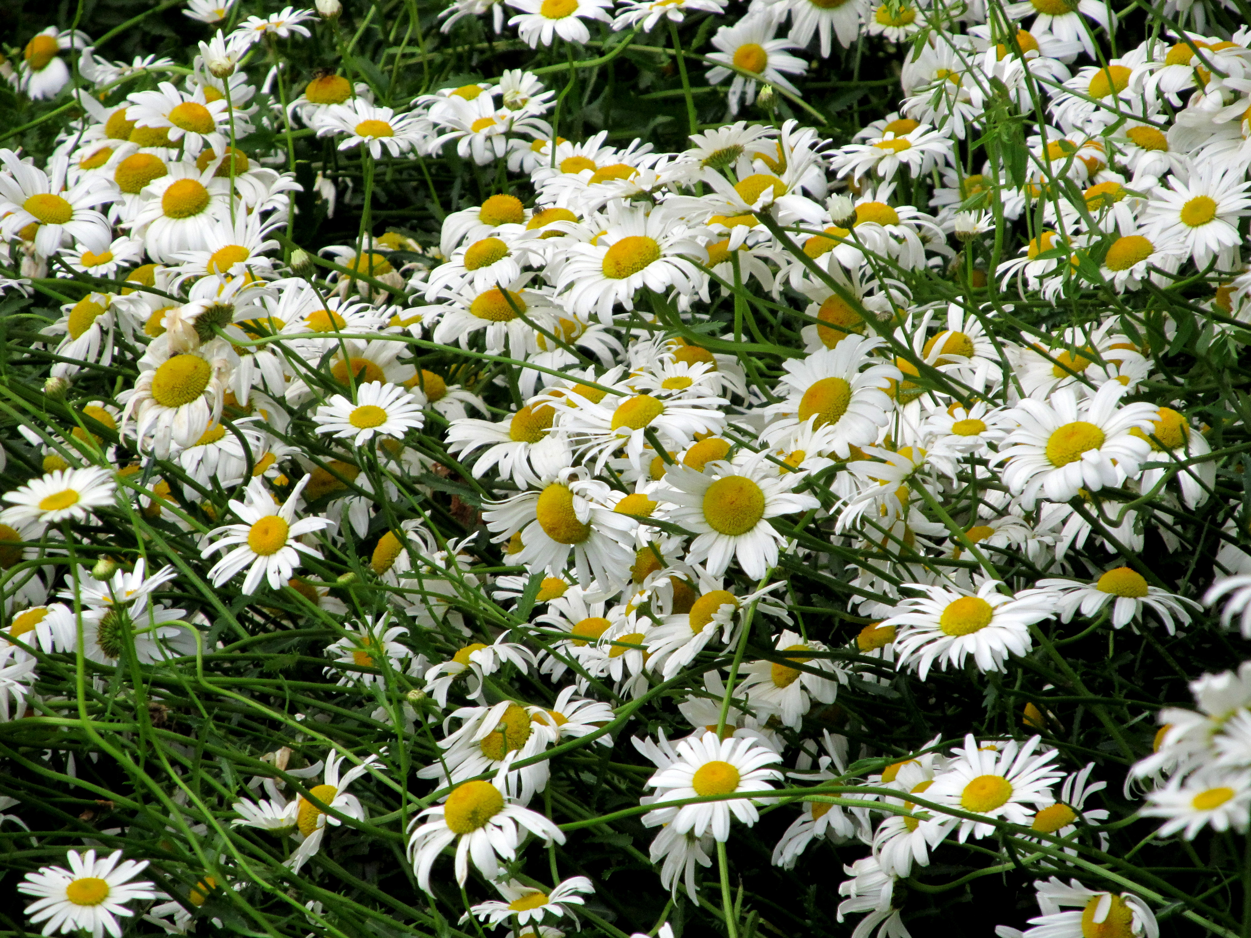 A guys guide to valentines and the meaning of flowers daisies izmirmasajfo