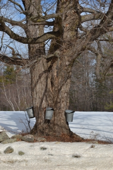 Parkers Maple Barn tree
