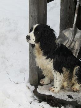 Belgian Meadows Dog