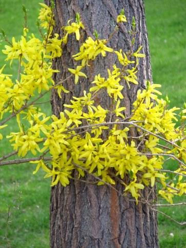 IMG_0122 forsythia and tree