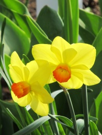 IMG_0175 narcissus duo