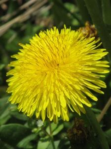 Flower most dandy