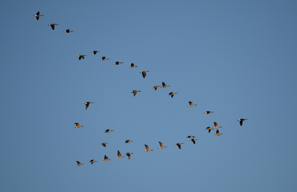 Geese Practicing a Mass evacuation