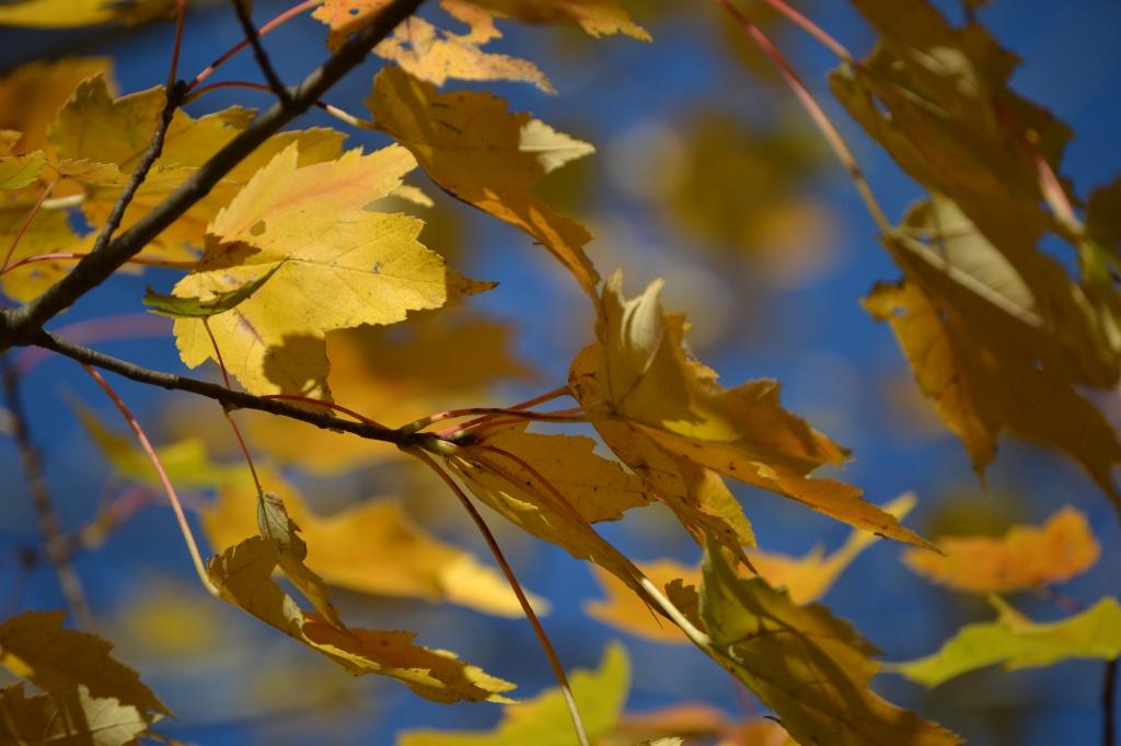 DSC_0015 - Restless Yellow maple