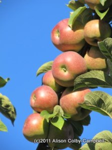 Before you go, review the rules of apple picking