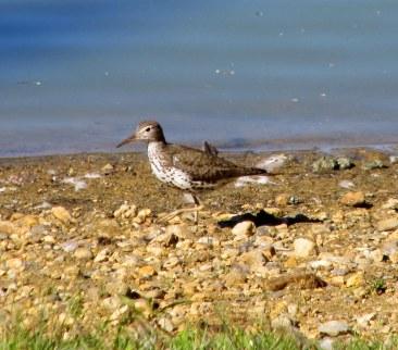 IMG_6865 Field of honor heron duck sandpiper