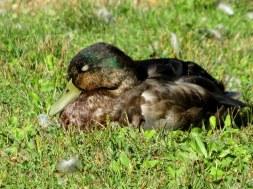 IMG_6874 Field of honor heron duck