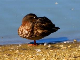 IMG_6876 Field of honor heron duck