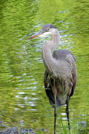 IMG_7006 field of honor heron