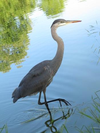 IMG_7043 field of honor heron
