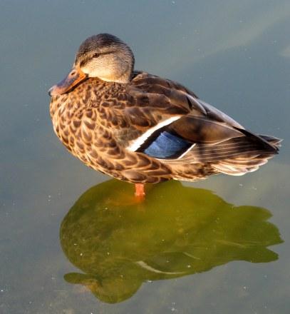IMG_7058 field of honor heron duck