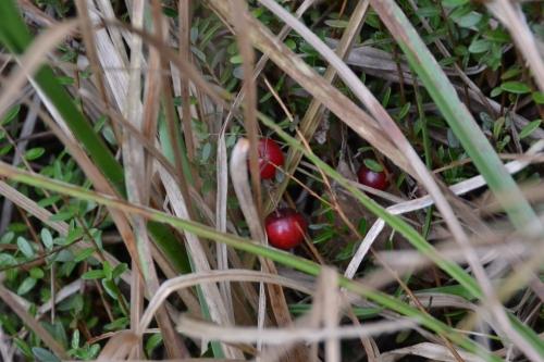Wild, edible(?) cranberry