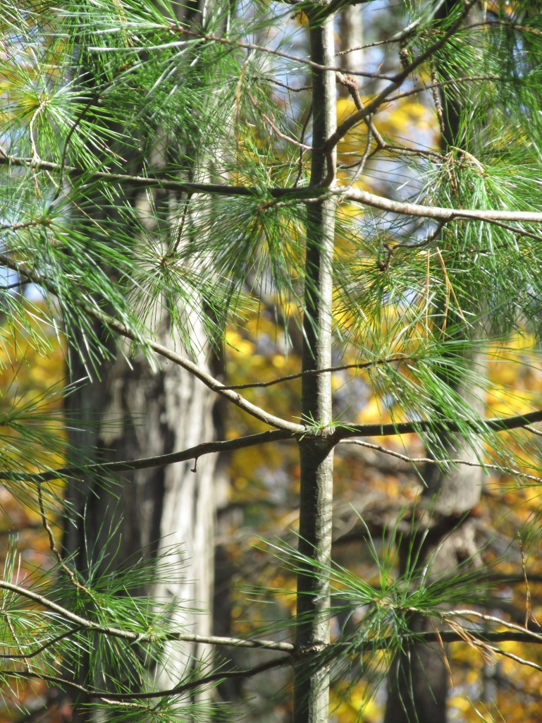 Pine is perhaps the smartest tree, it fullfills that most human of needs to know how old a tree is without getting decapitated. Each branch coupling is one year