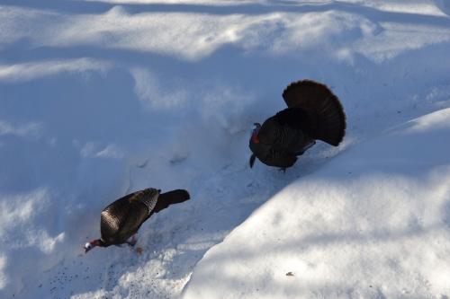 Stalking turkey coming