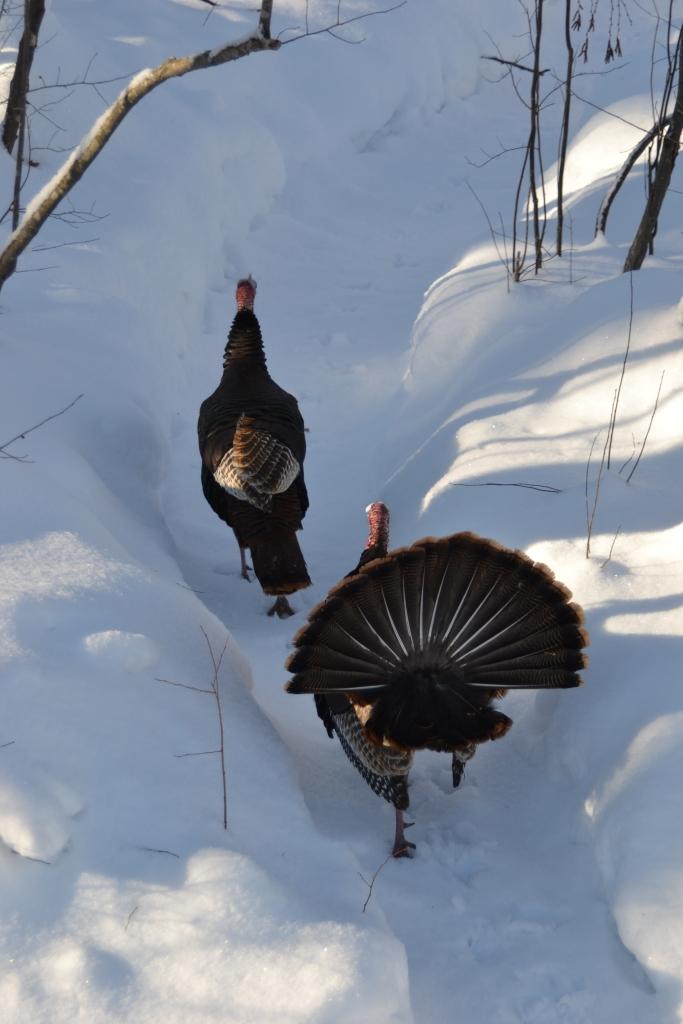 Stalking turkey going