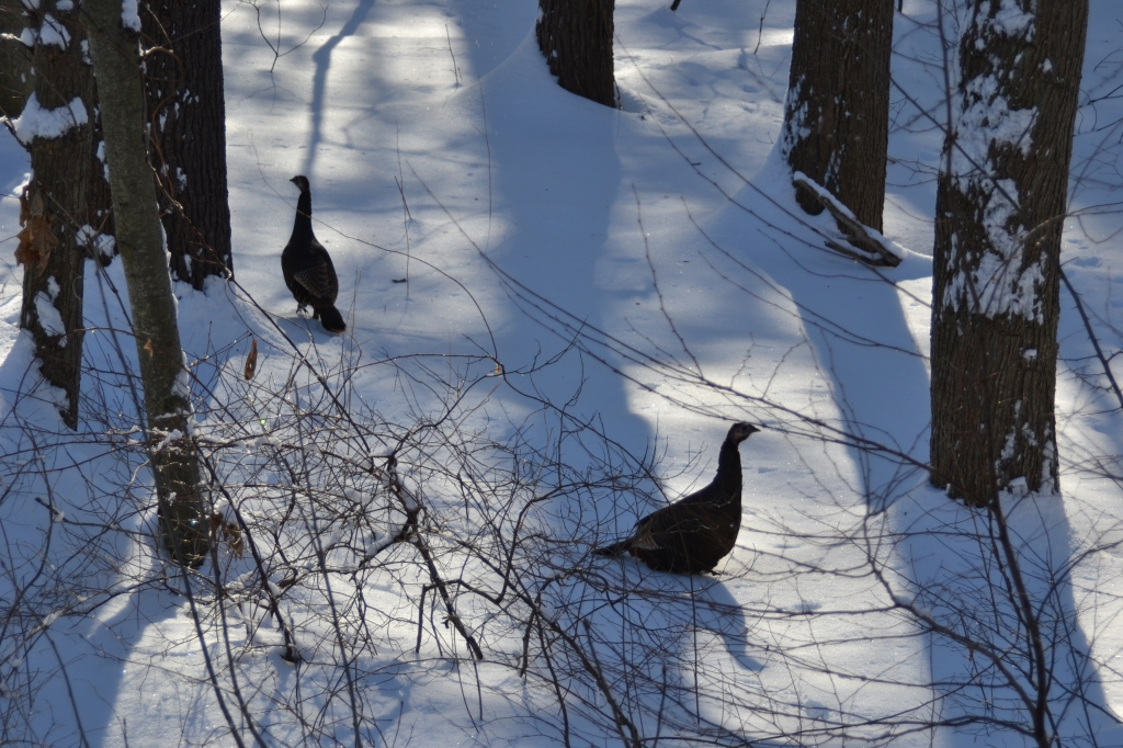 Two turkeys in the wood
