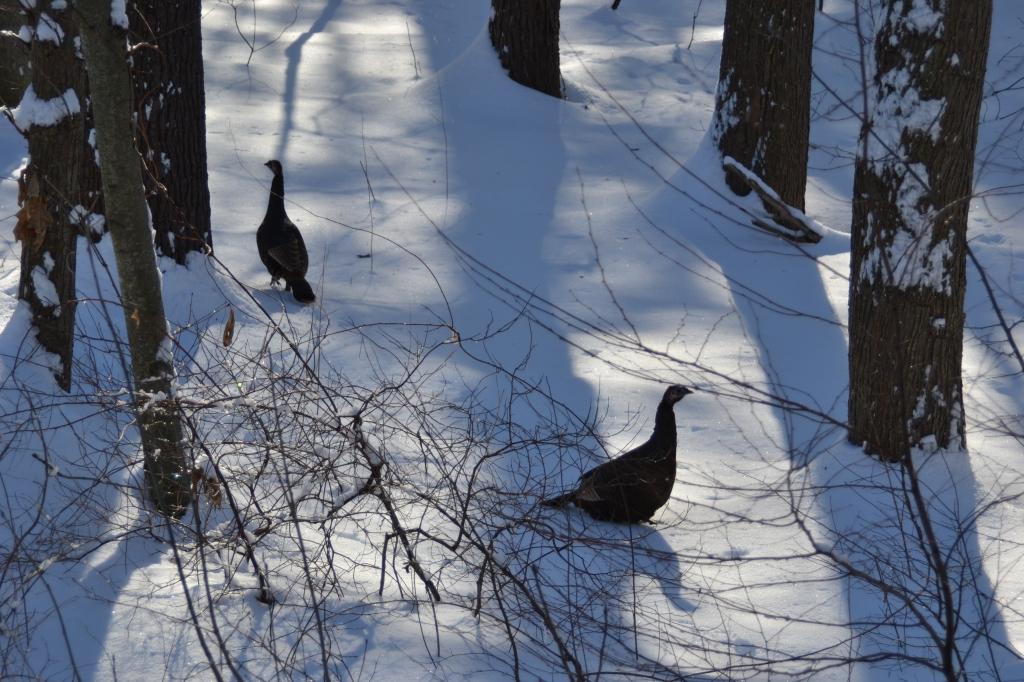 Two turkeys in the wood