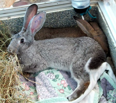 Bongo was a 7lb baby originally named Apollo Creed  and was part of a 14 giant rabbit surennder at MSPCA Nevins Farm