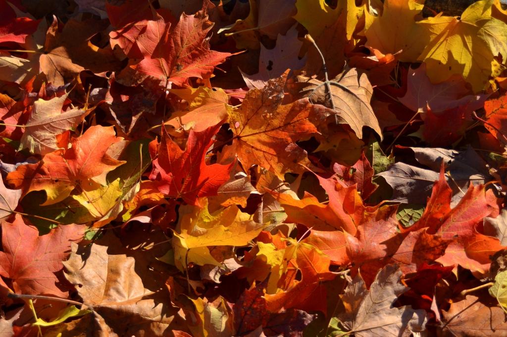 DSC_0627-001 Maple leaves