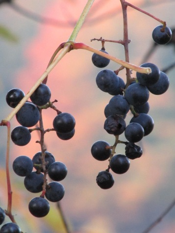 Wild grapes another color of fall