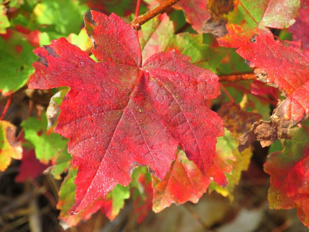 IMG_5635 red leaf