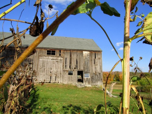Barn as seen through the dying sunflowers
