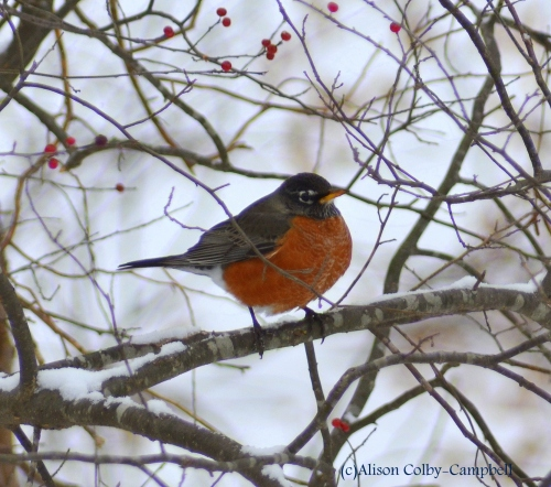 Last year's first robin in a tree means much better luck