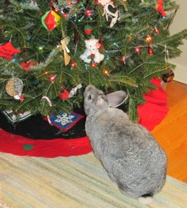 Not exacly a goat but our giant Flemish liked eating the tree.