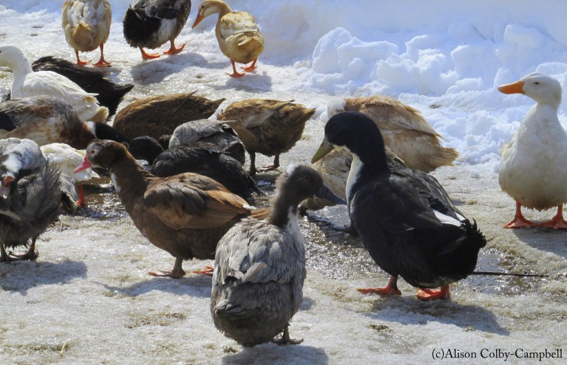 IMG_8785 Duck eggs