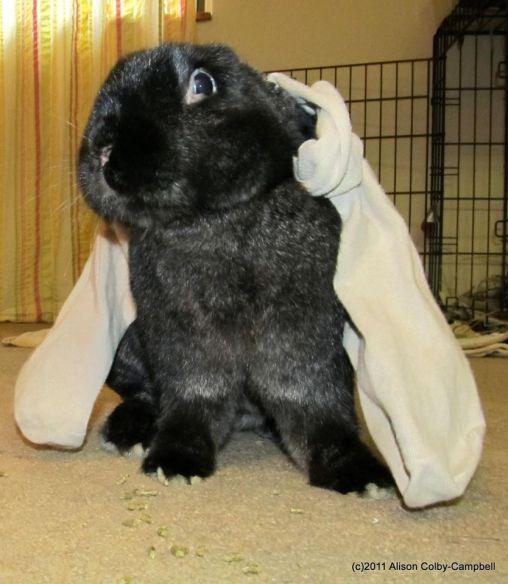 Bullwinkle the lop eared rabbit 327836_10150377639594157_401244000_o