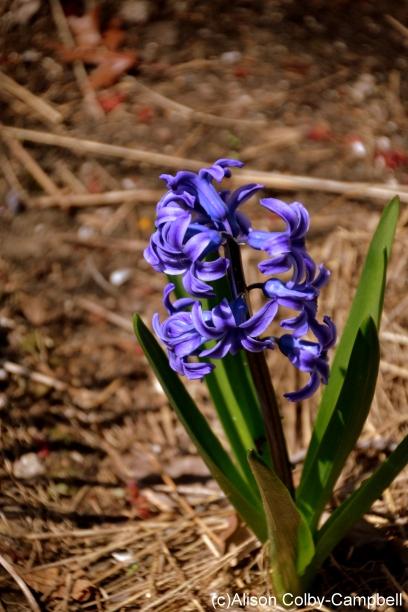 DSC_0961 Haverhill Spring Flowers