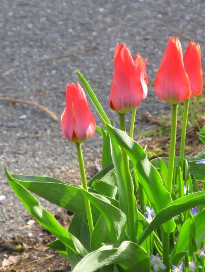 img_0176 red tulips for misty