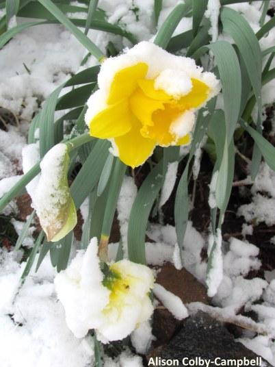 IMG_3325 Daffodil in snow