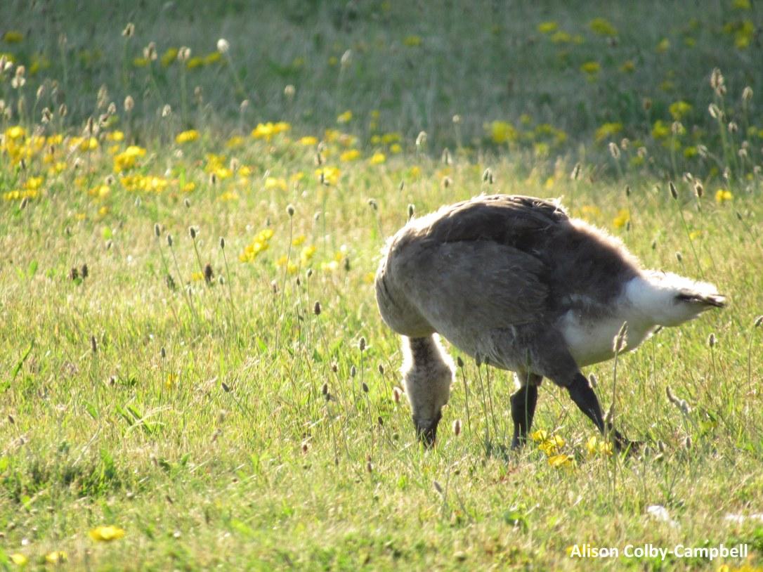 IMG_2102 haverhill water dept plover ducks winnekenni basin ground hog
