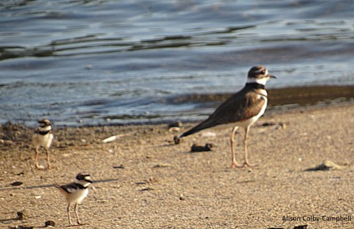 IMG_2126 haverhill water dept plover ducks winnekenni basin ground hog