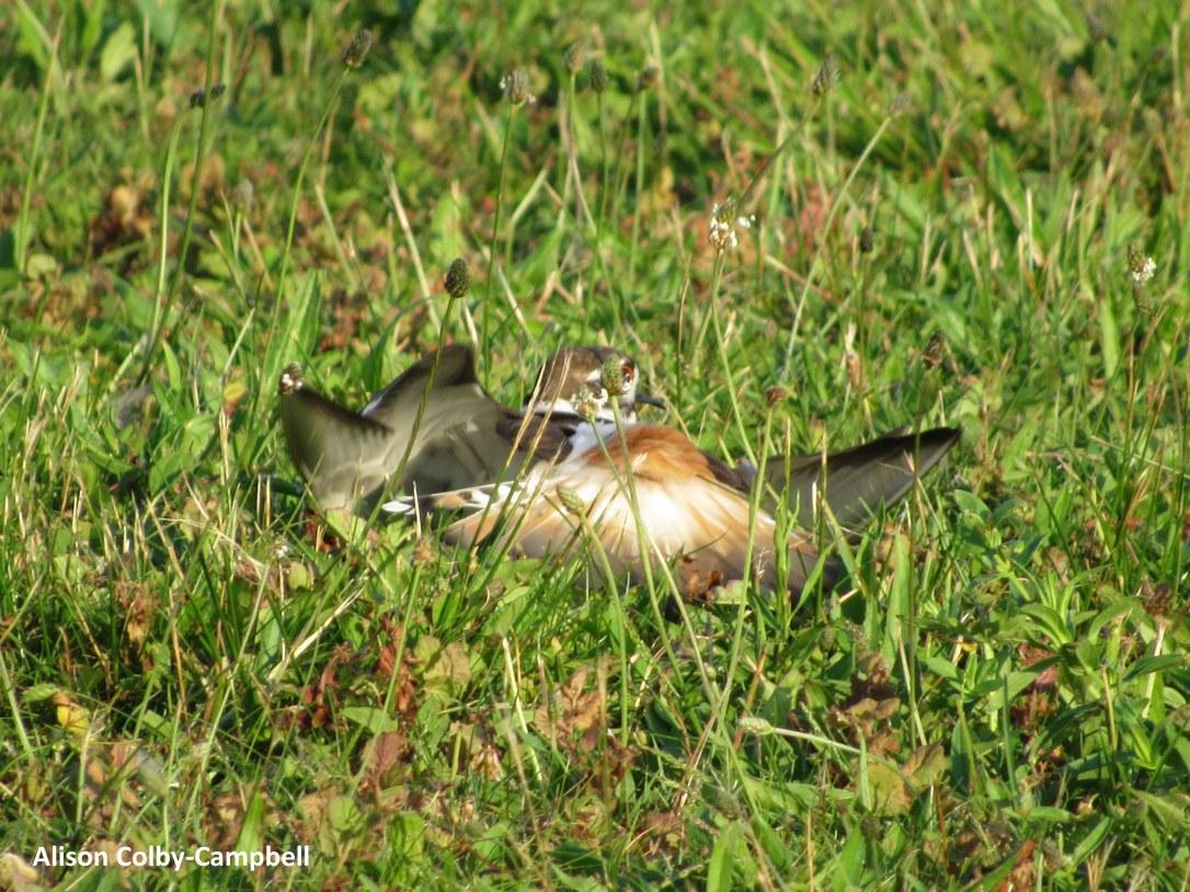 IMG_2144 haverhill water dept plover ducks winnekenni basin ground hog