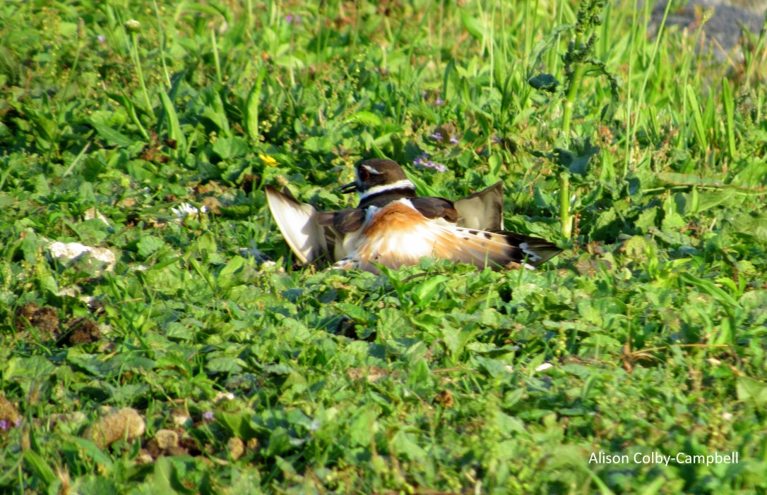 IMG_2165 haverhill water dept plover ducks winnekenni basin ground hog