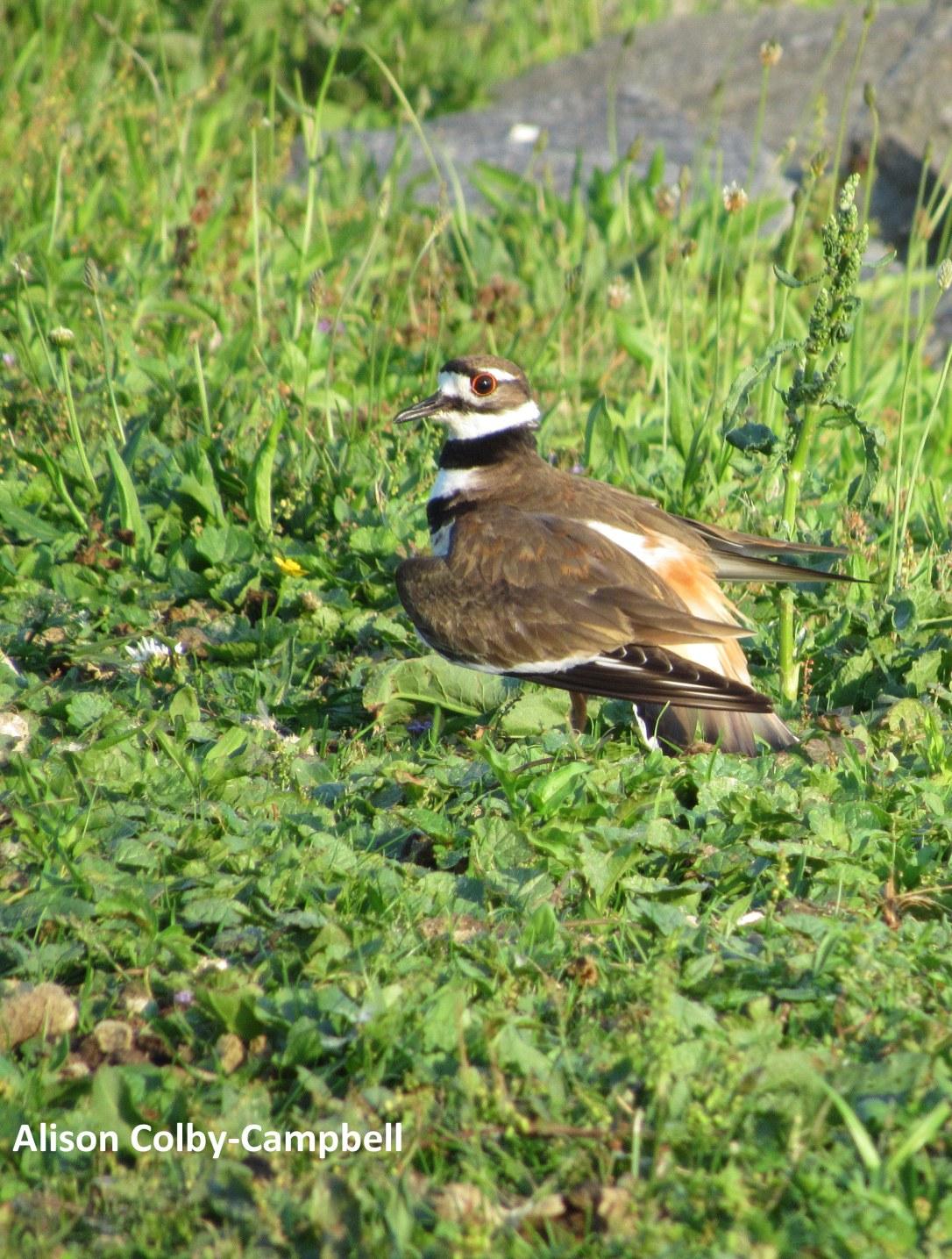 IMG_2167 haverhill water dept plover ducks winnekenni basin ground hog