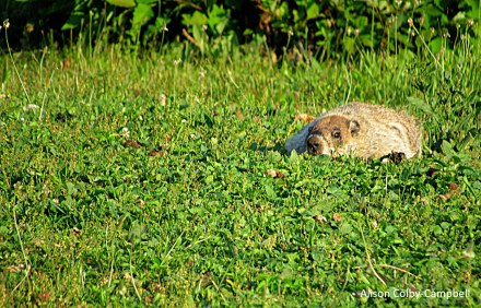 IMG_2185 Haverhill ground hog flattened out at Kenoza