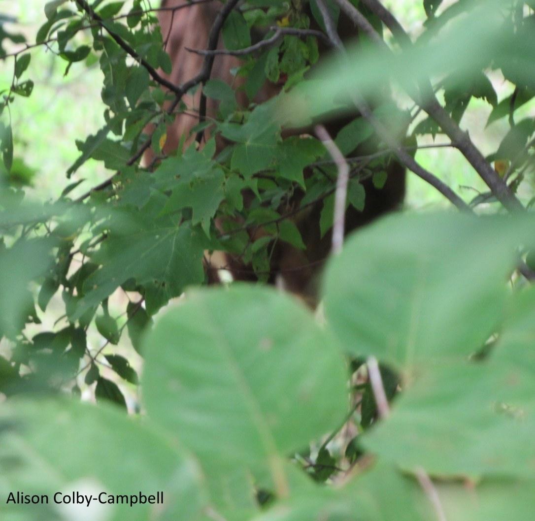 IMG_8282 wildebeest gnu