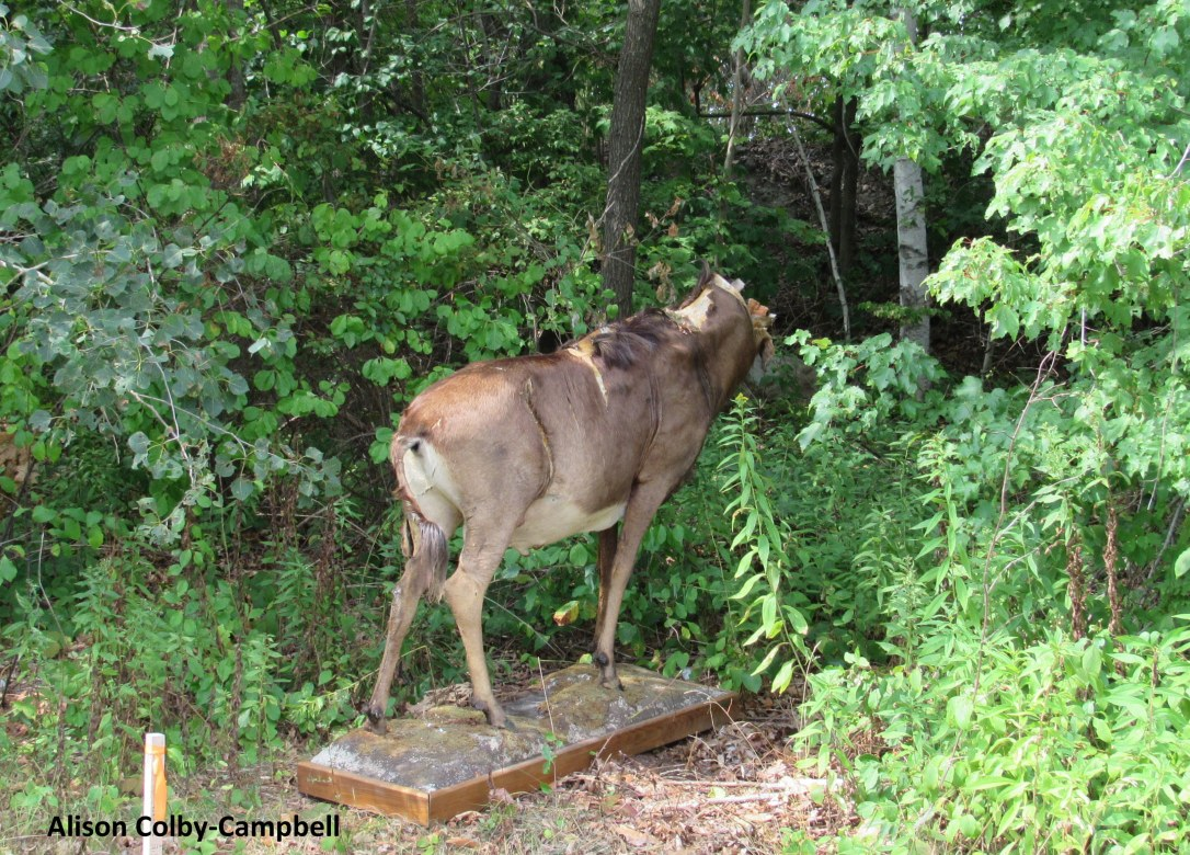 IMG_8283 Wildebeest gnu