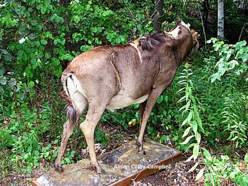 IMG_8285 Wildebeest gnu
