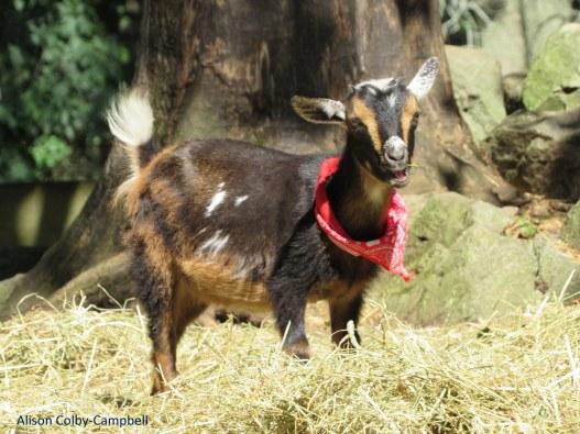 IMG_8038 Boxford Merril Goat Yoga with Logan and Sloan