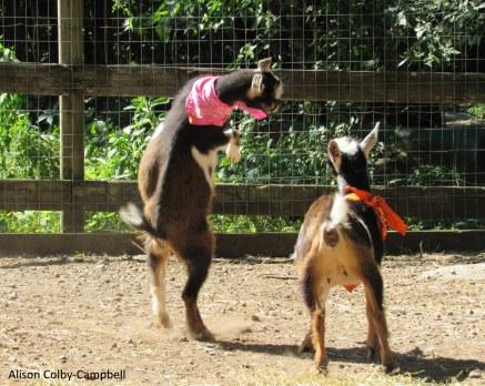 IMG_8050 Boxford Merril Goat Yoga with Logan and Sloan