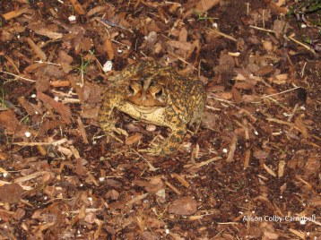 IMG_4657 Haverhill Camouflaged Toad