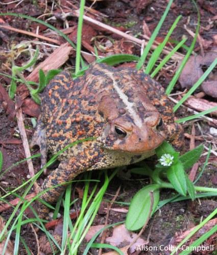 IMG_9221 Haverhill garden toad